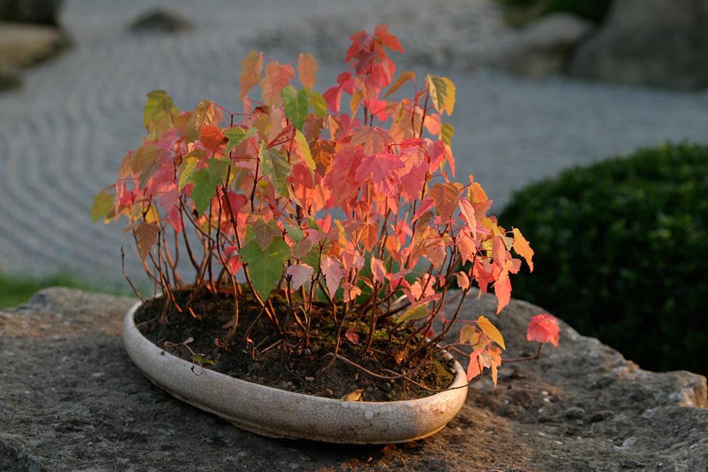 Bonsai - Acer ginnala