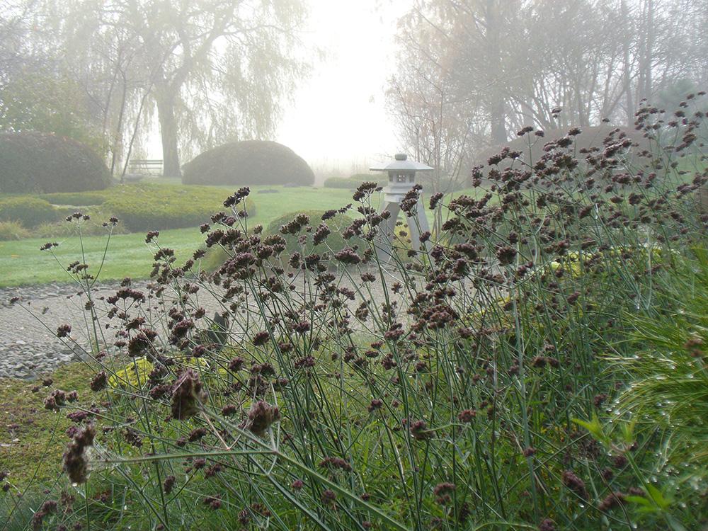 Verbena bonariensis im Herbst