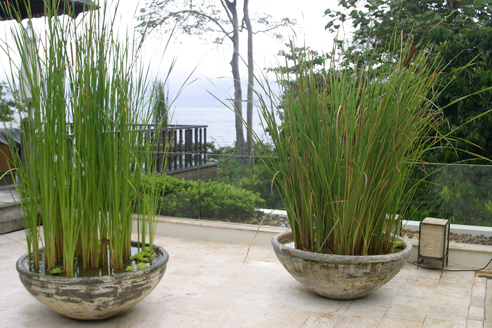 potted reed plants