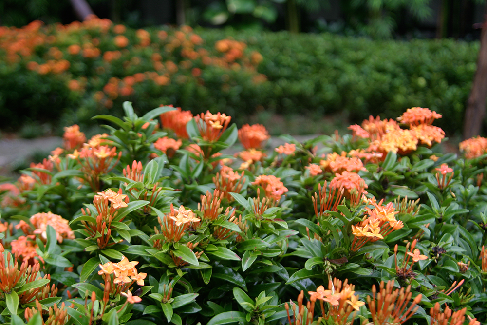 clipped shrubs of Ixora