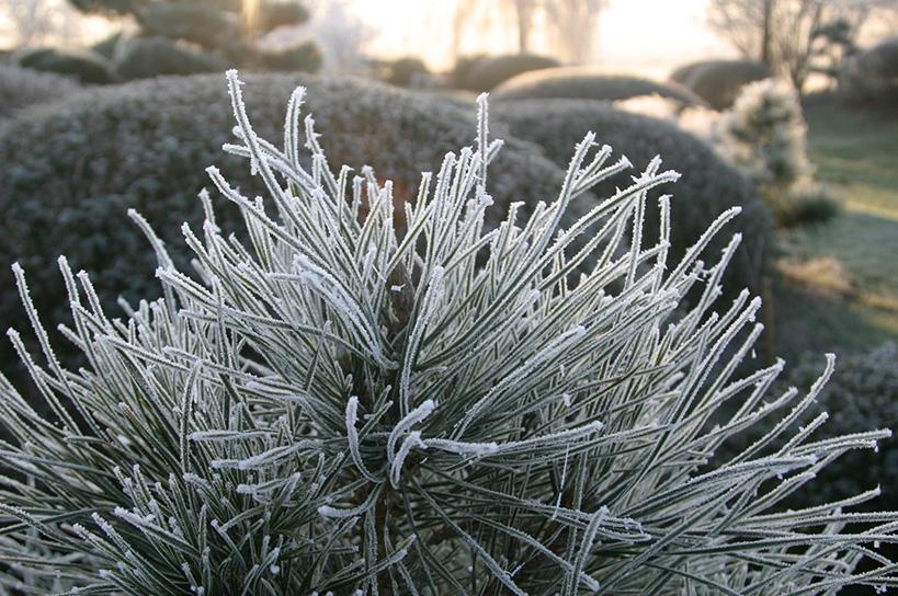 Frost an Kiefernnadeln