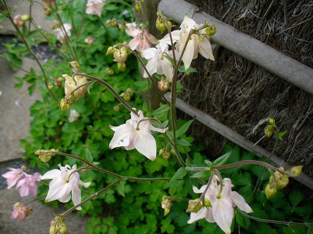 Akeleien im japanischen Garten in Bartschendorf