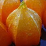 Lampionblume Früchte