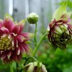 Blüte der Akelei