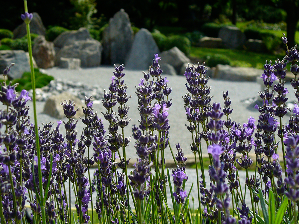 japanischer Garten & Lavendel