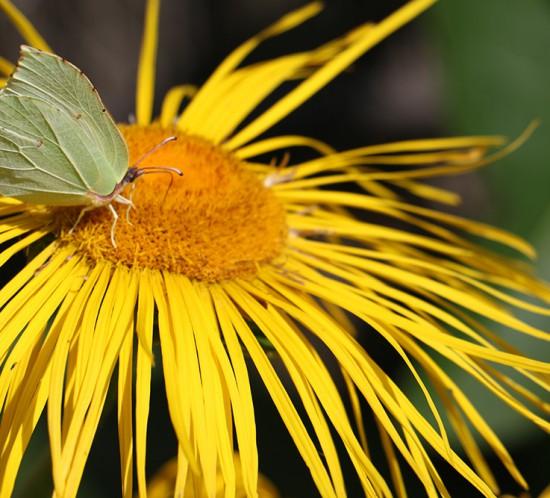Blüte des Alant