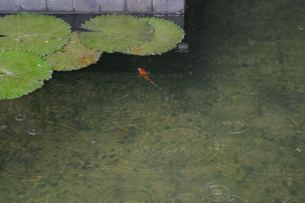 young koi in the new pond