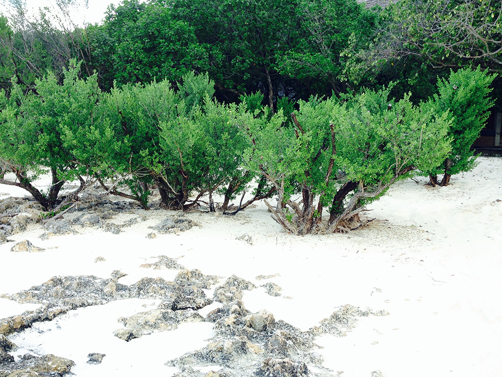 clipped pemphis acedula on Vamizi island, Mozambique