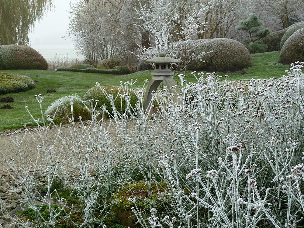 Verbena bonariensis im Winter